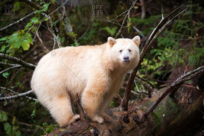 A spirit bear, Ursus americanus kermodei, stands on a fallen tree.