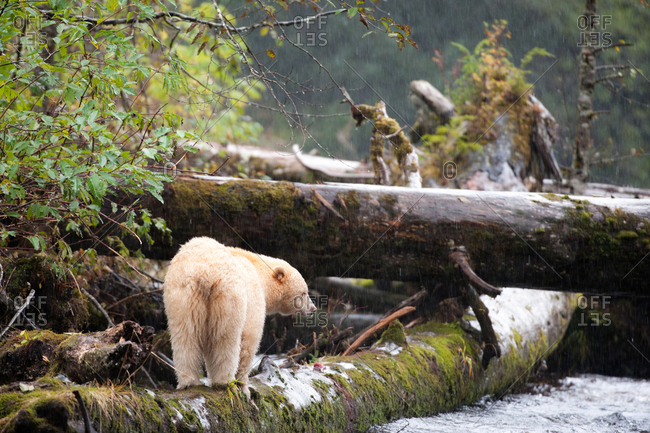 A spirit bear, Ursus americanus kermodei, stands on a log by a river on a rainy day.
