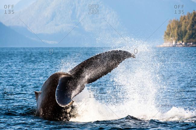 A humpback whale, Megaptera novaeangliae, fluking.