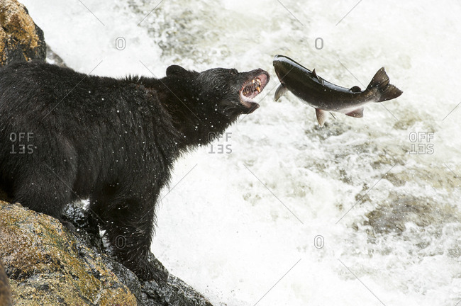 A black bear, Ursus americanus, attempts to catch a coho salmon, Oncorhyncus kisutch,  at a waterfall.