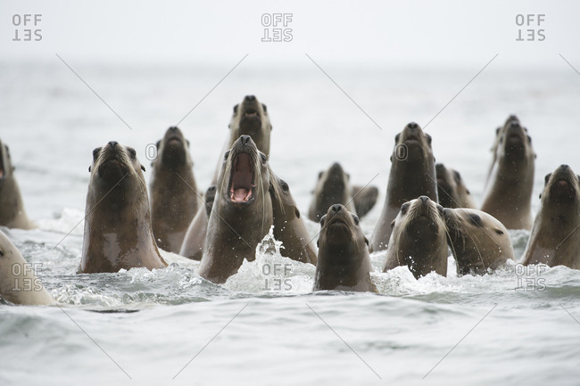 A group of adolescent Steller sea lions, Eumetopias jubatus.