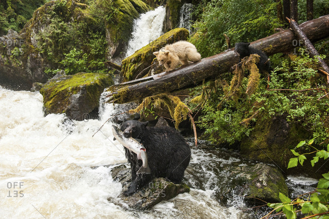 A mother black bear, Ursus americanus kermodei, with a coho salmon while her spirit bear cub and sibling look on.