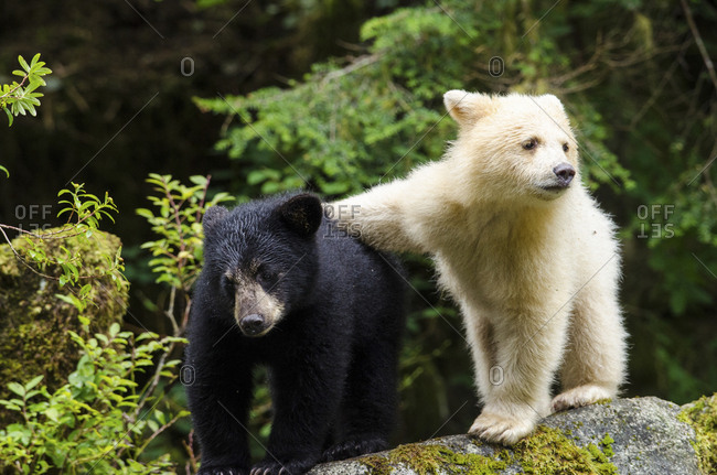 A spirit bear cub, Ursus americanus kermodei, with an arm across its black sibling, Ursus americanus.