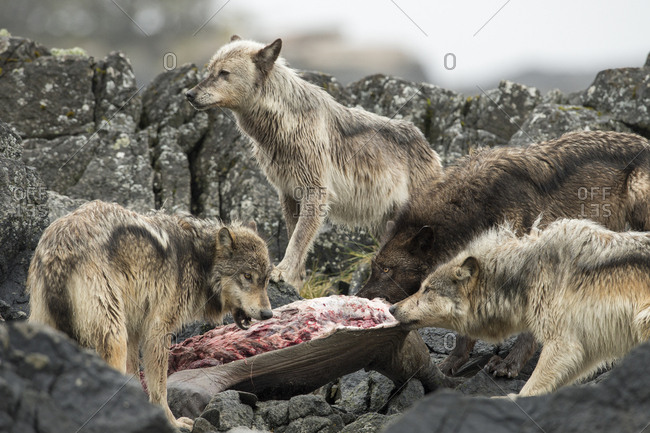 A pack of coastal wolves, Canis lupus, feeding on a sea lion carcass.