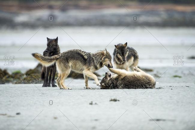 Four wolves, Canis lupus, playflighting on a beach.
