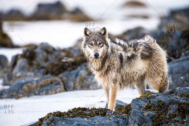 A coastal wolf, canis lupus, stands on the beach on a windy day.
