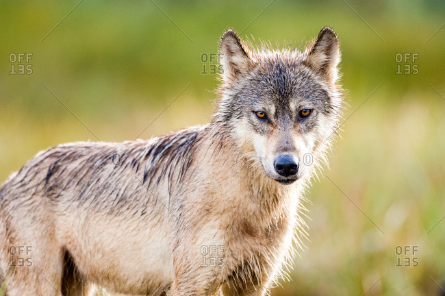 A portrait of a female coastal wolf, canis lupus.