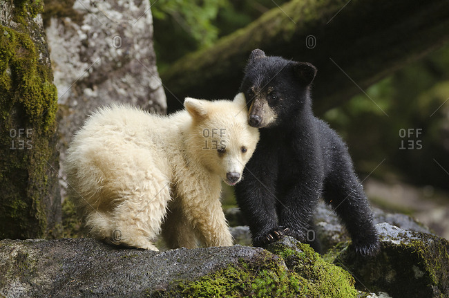 A spirit bear cub, Ursus americanus kermodei, huddling with its sibling.