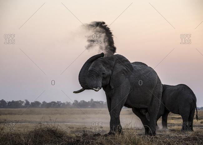 Elephants, Loxodonta africana, dusting them selves as the sun sets.