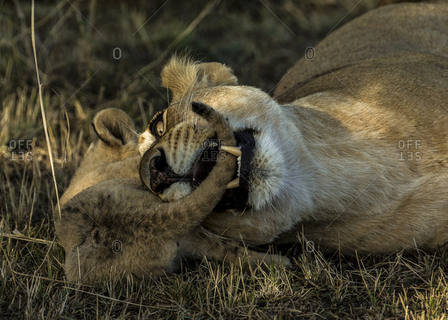 A lioness, Panthera leo, playfully bites her cub.