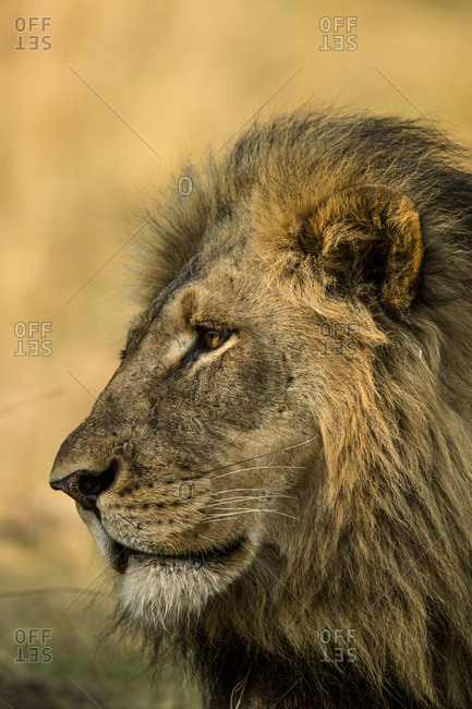 Portrait of a lion, Panthera leo.