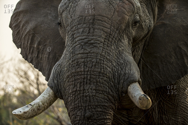 A close up of an elephant, Loxodonta africana.