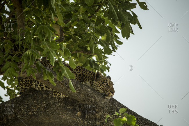 A leopard, Panthera pardus, resting in a tree.