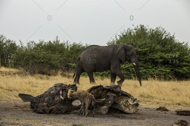 A Spotted Hyena, Crocuta crocuta, eats from a old and dry elephant, Loxodonta africana, carcass.