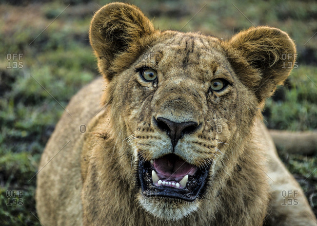 A young male lion, Panthera leo, panting in the heat.
