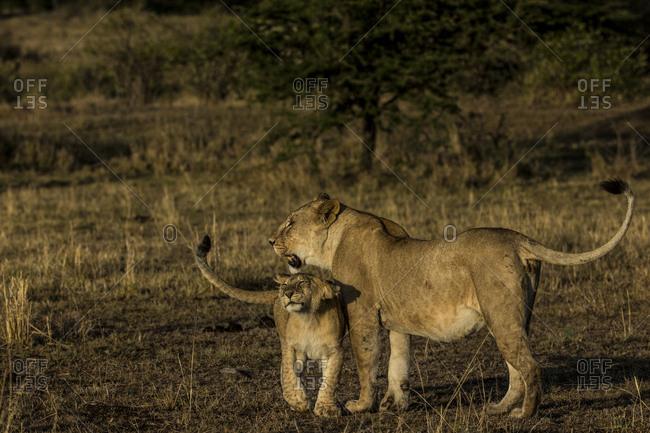 A lion, Panthera leo, cub nuzzles it's mother.