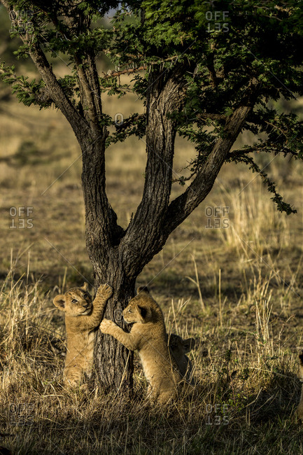 Lion, Panthera leo, cubs playing round a small tree.