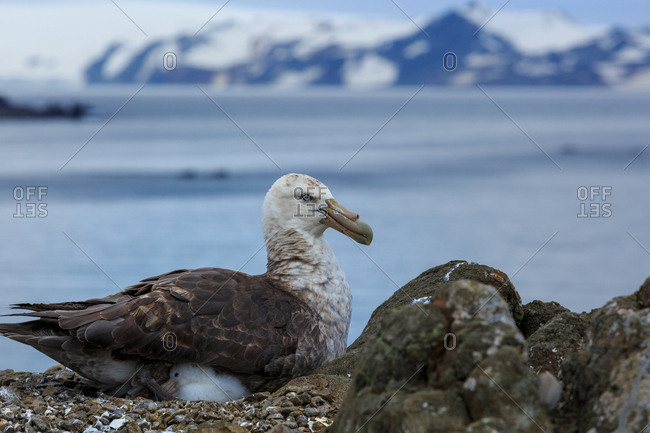 A Giant petrel, Macronectes giganteus, with its chick in nest.