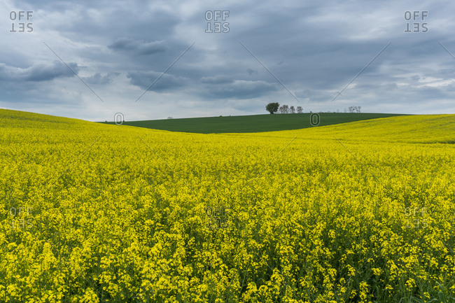 Field filled with rapeseed in Kraichgau, Germany