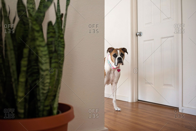 View of boxer dog walking around corner from a hallway