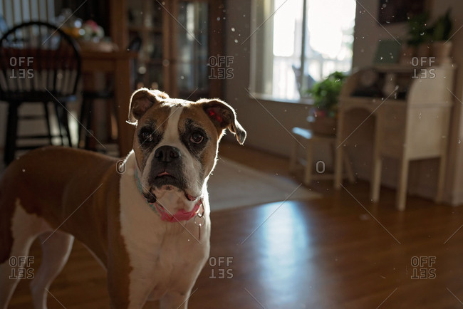 Boxer dog walking in home with dust particles in the air