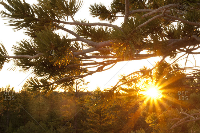 Pine Tree Sun Burst