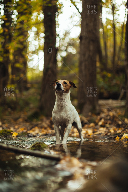 Dog standing in a creek in the forest