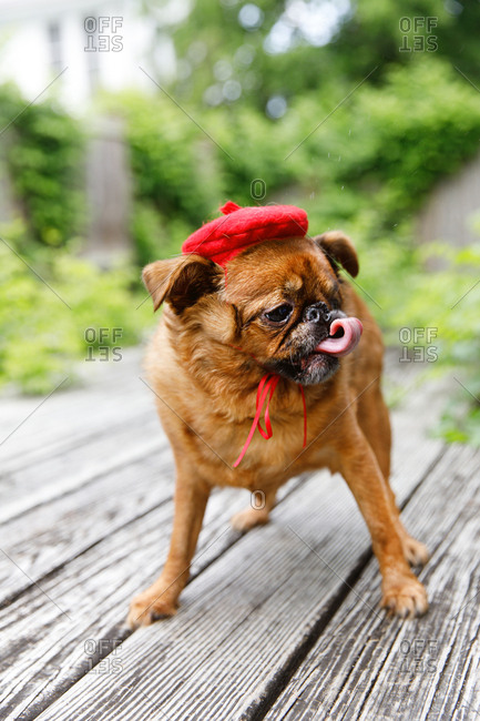 Dog dressed in red beret