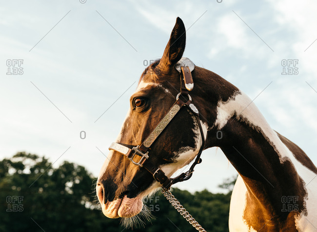 Portrait of a brown and white horse with silver halter