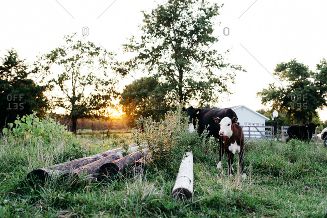 Calf and cow wandering through field with tall grass and weeds