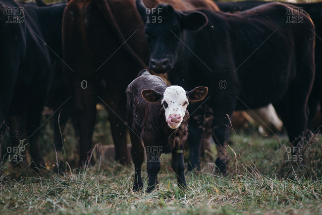 Little black and white calf licking its face and standing in front of cows