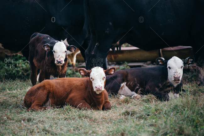 Three calves resting in the pasture