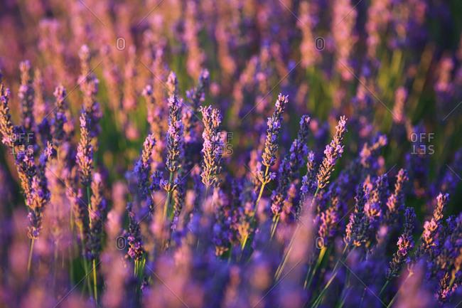 Plateau of Valensole, Lavender Field, Valensole, Provence-Alpes-C�te d'Azur, France