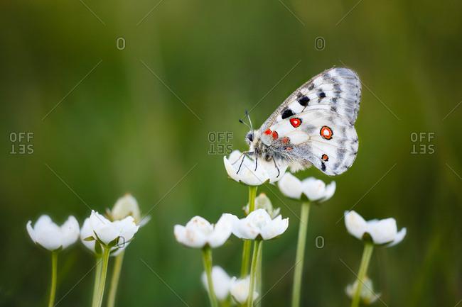 Parnassius Apollo Butterfly at Cima Grappa, Treviso, Veneto