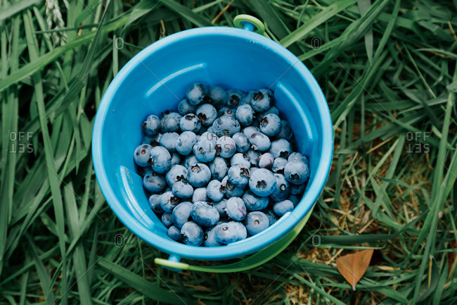 Fresh picked blueberries in a bowl on the grass