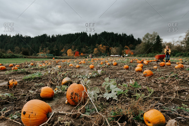 Wide angle view of a pumpkin patch