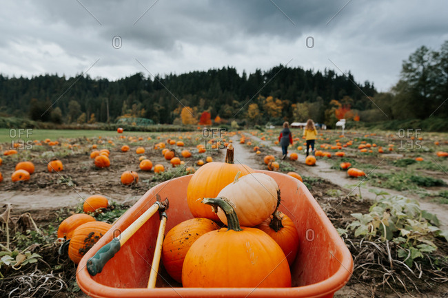 Freshly picked pumpkins in a wheelbarrow