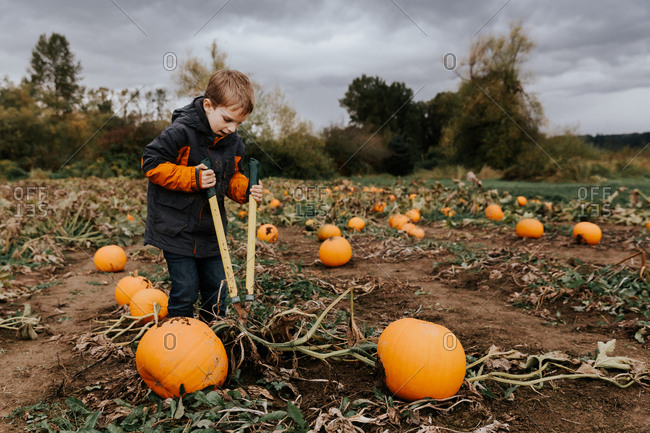 Young boy cutting pumpkin vines