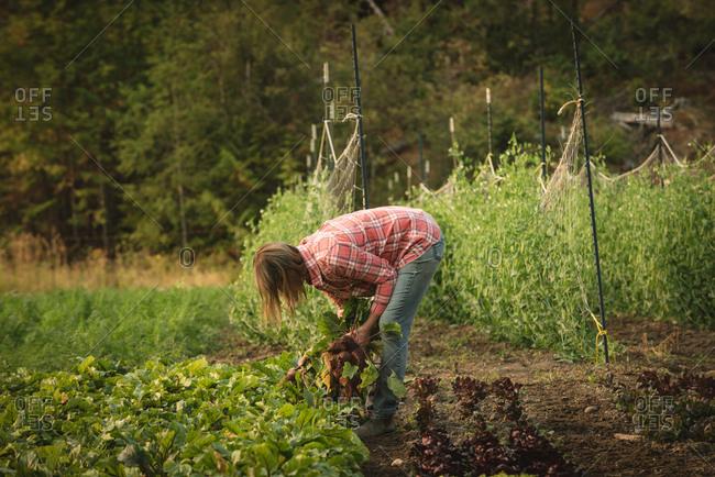 Female farmer harvesting turnip in field
