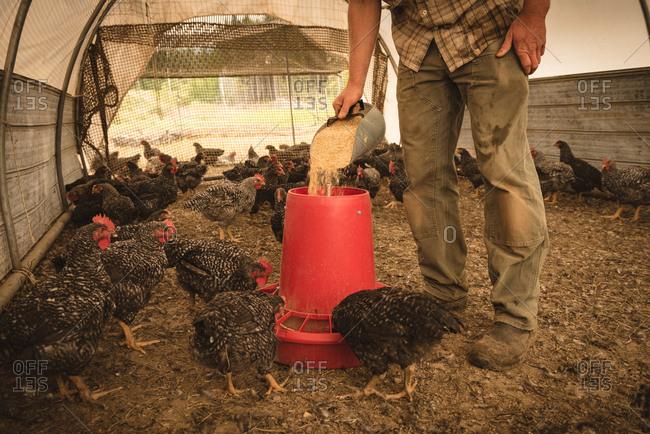 Farmer man feeding the hens in chicken house