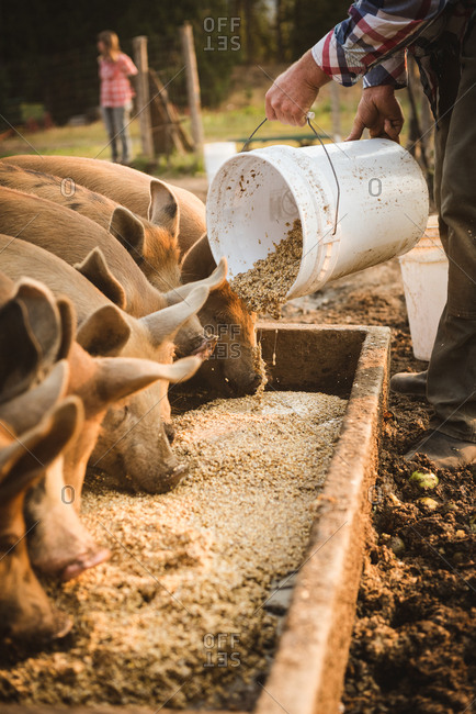 Low section of farmer feeding pigs in farm
