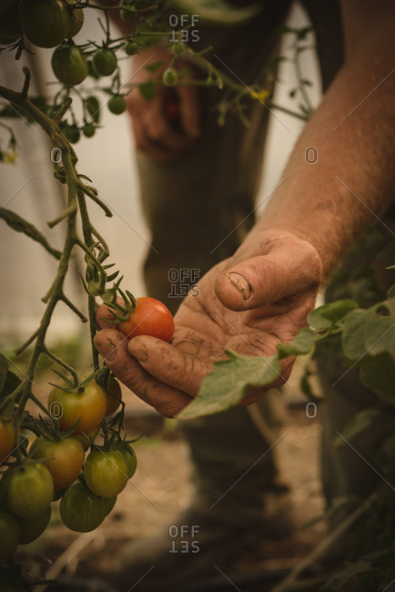 Close-up of farmer harvesting vegetables in greenhouse