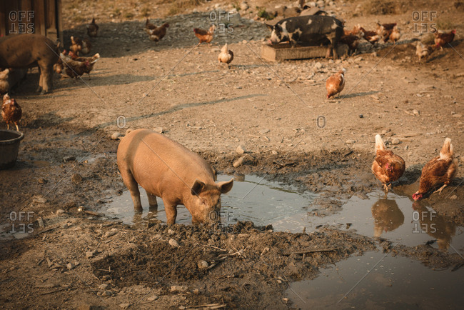 Pigs and hens eating food in farm on a sunny day