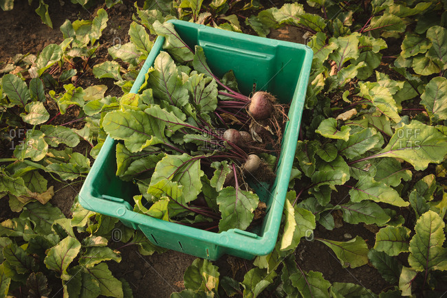 Harvested turnip in crate at field