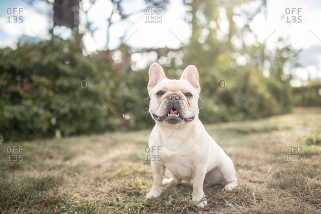 French bull dog stands in backyard