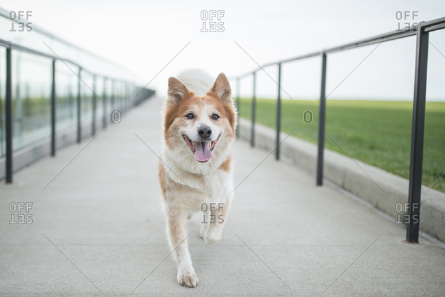 Dog walks on ramp path