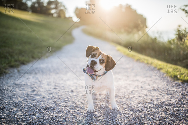 Dog in bowtie stands on gravel road