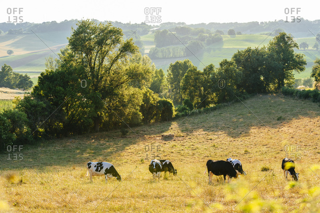 Fields with cows in the countryside around Puymirol