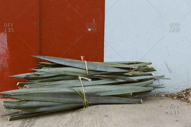 Blue agave leaves bound with string