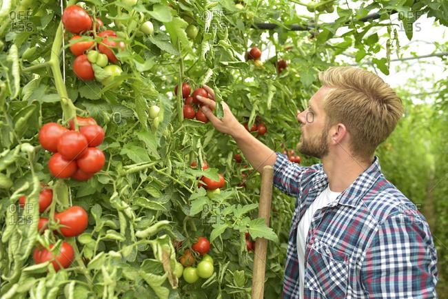 Gardener examining tomatoes in greenhouse